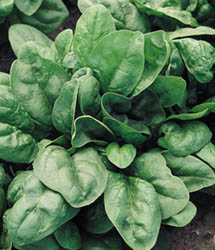 Giant 157 Spinach