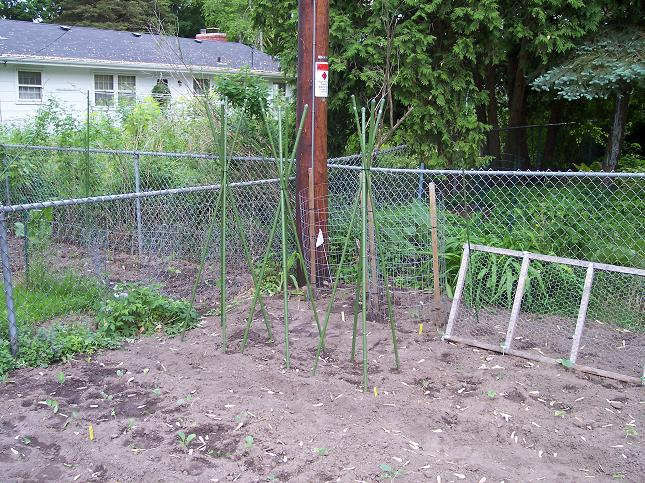 Pole Bean Tepees - May 25