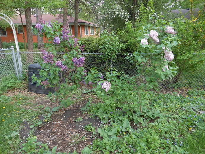 Lilacs - Planting Day