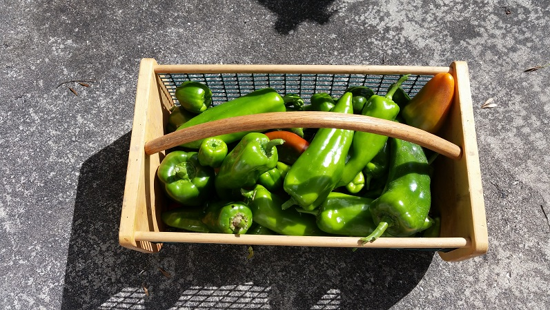 Hot and Sweet Peppers - Last Harvest Day