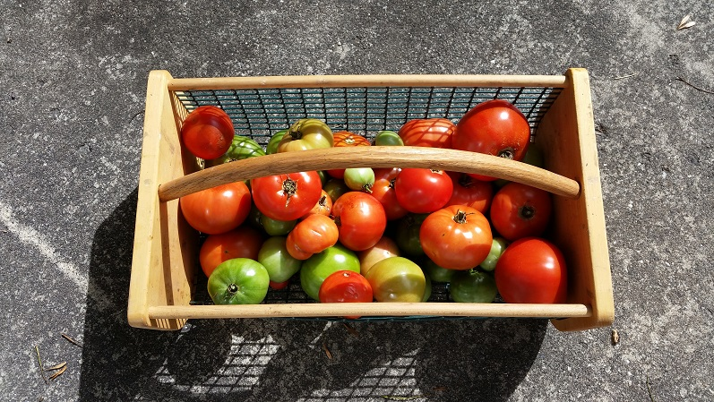 Tomatoes - Last Harvest Day